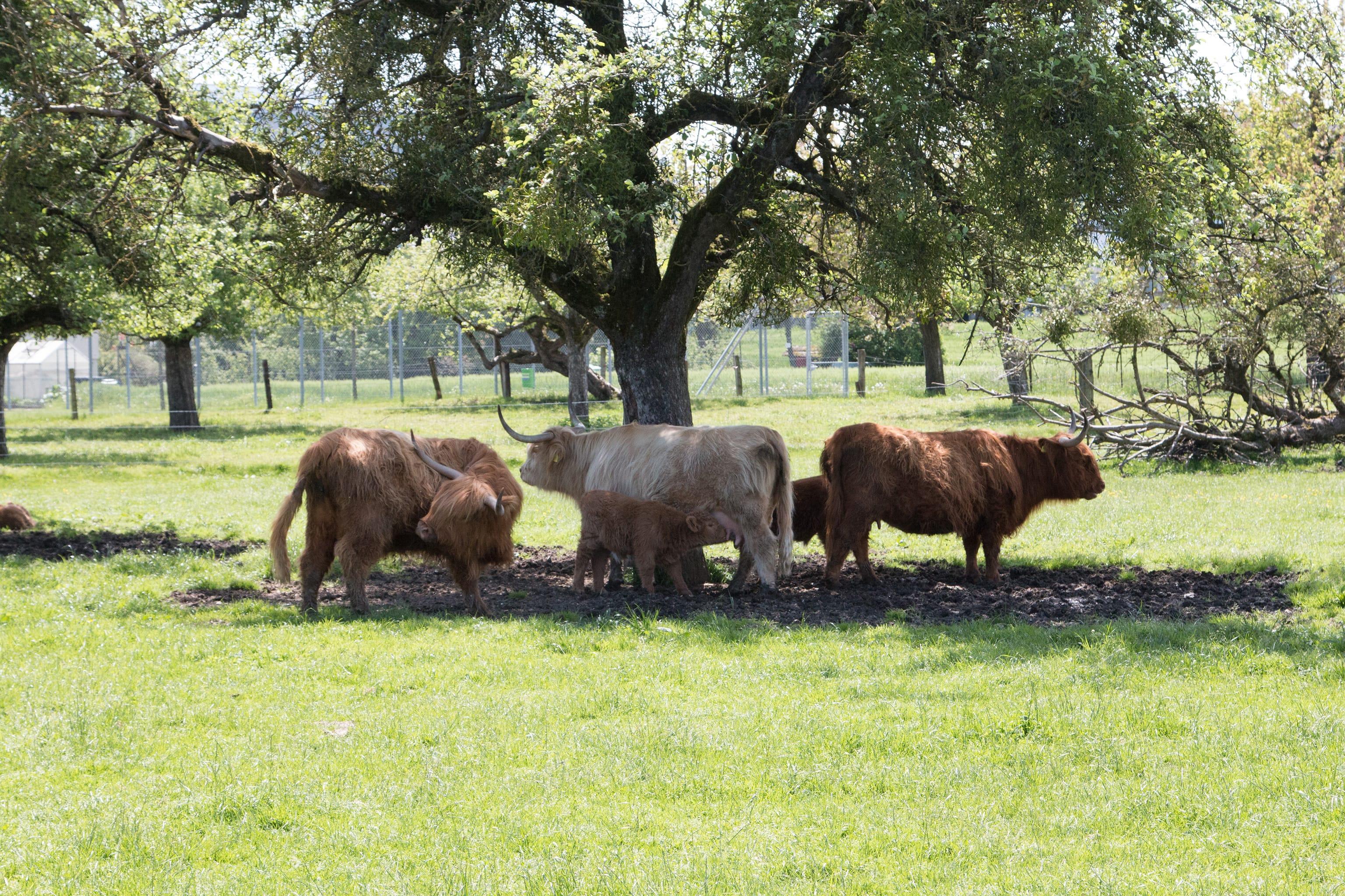 Hochlandrinder mit Jungtieren auf den Wiesen der power-farm.