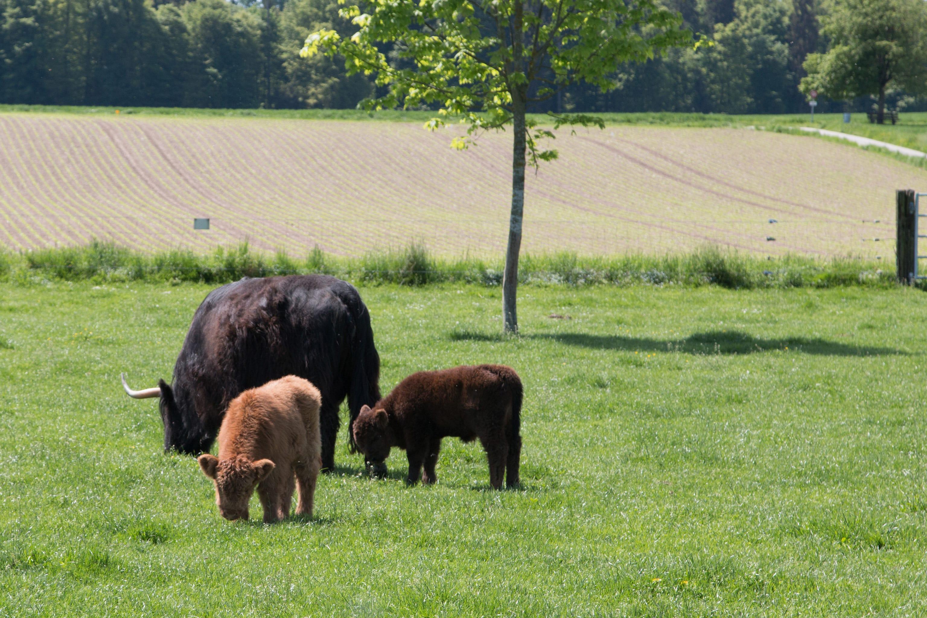 Saftiges Gras schmeckt grossen und kleinen Hochlandrindern auf der power-farm bestens.
