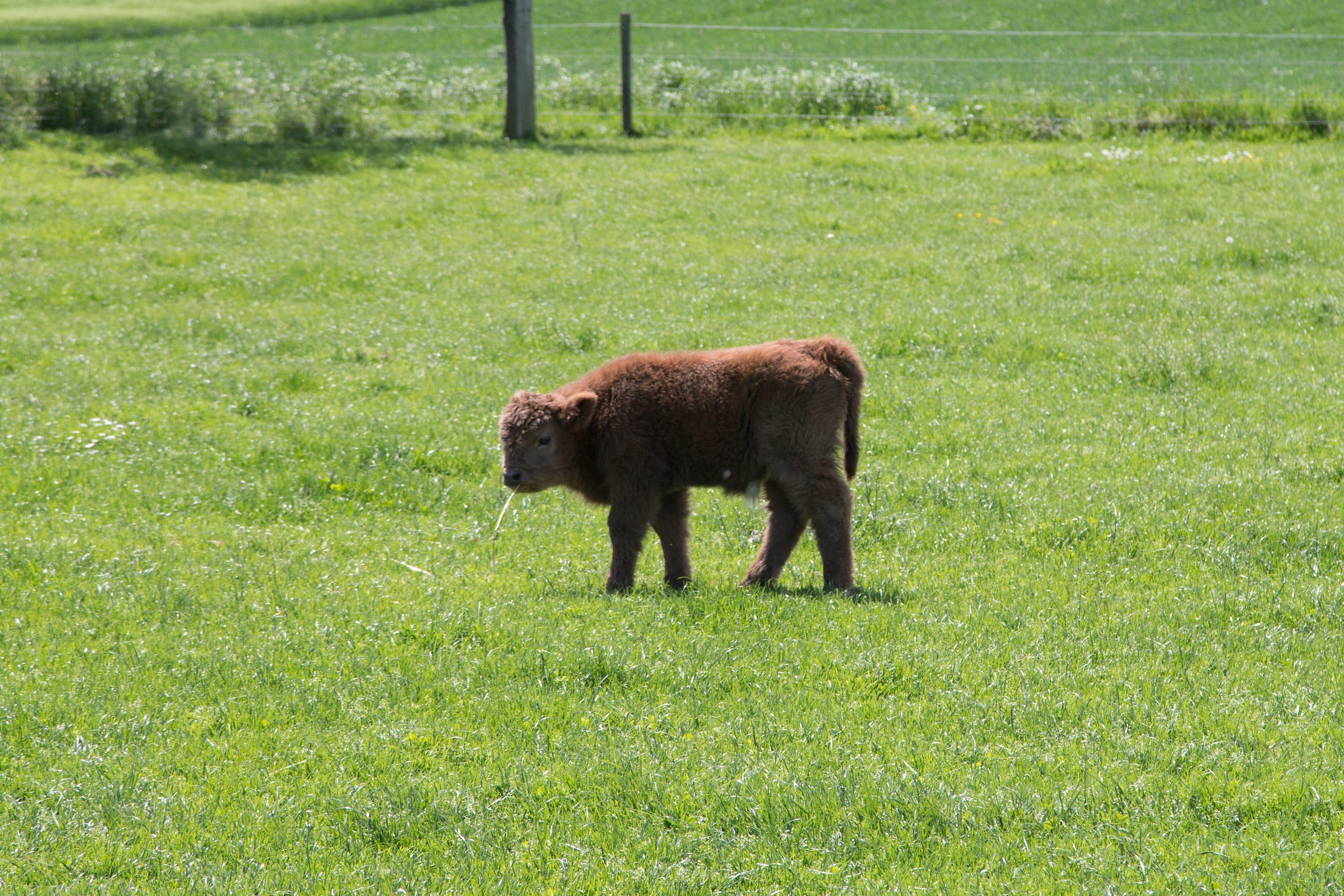 Ein Jungtier kaut auf einem Grashalm.
