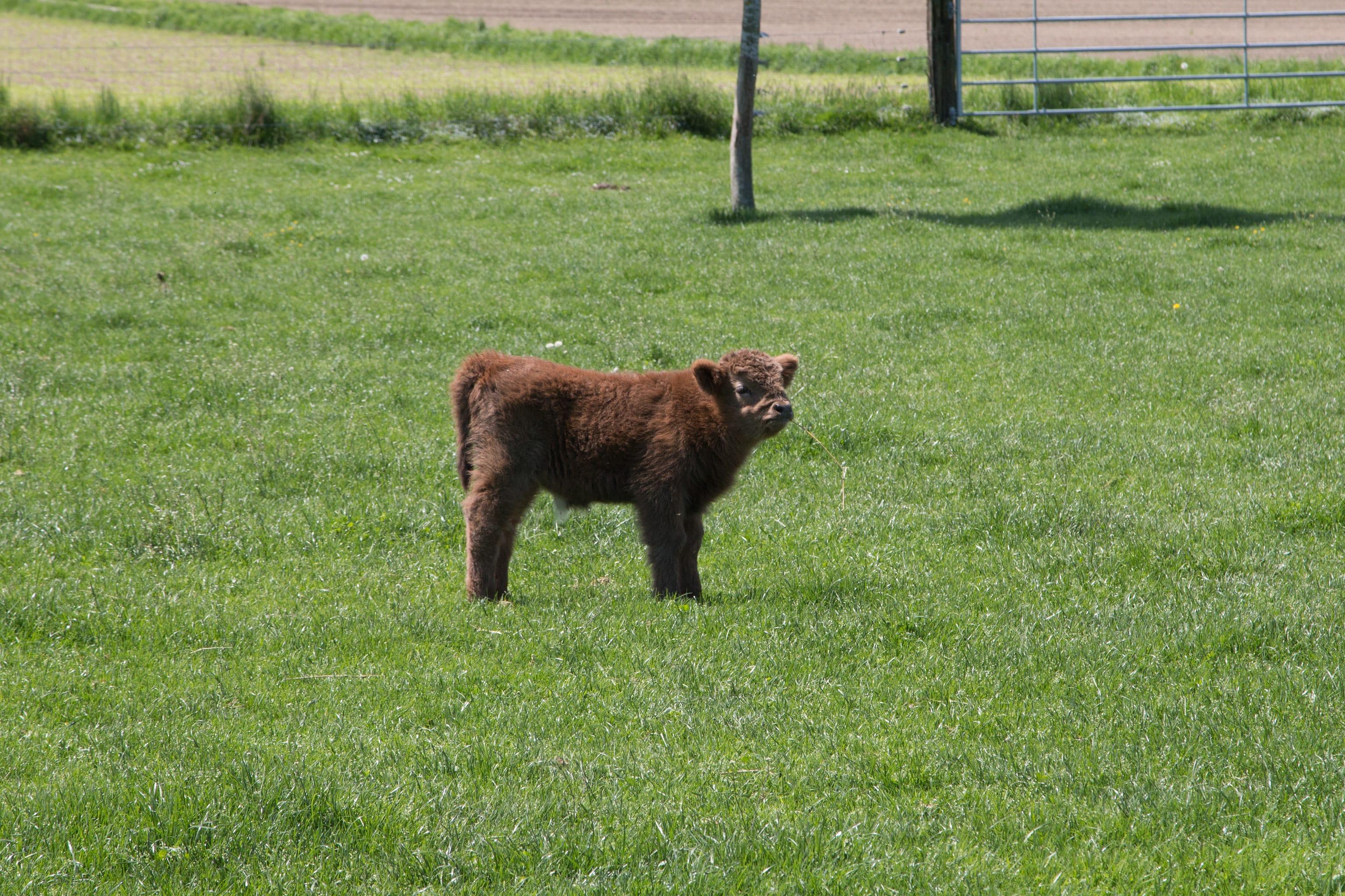 Ein junges Hochlandrind kaut auf einem Grashalm.