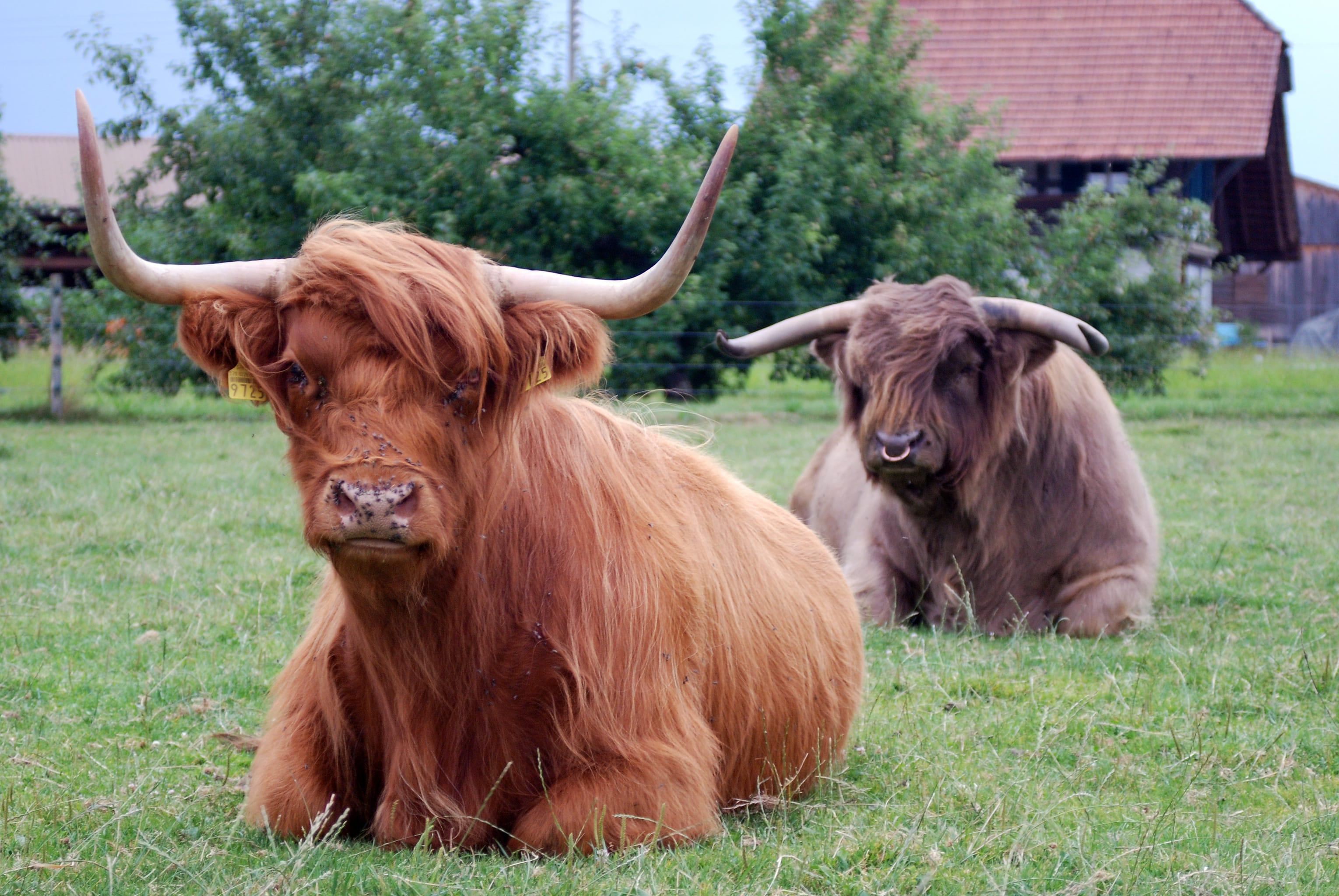 Ein schönes Paar: Bulle und Kuh auf den Wiesen der power-farm.