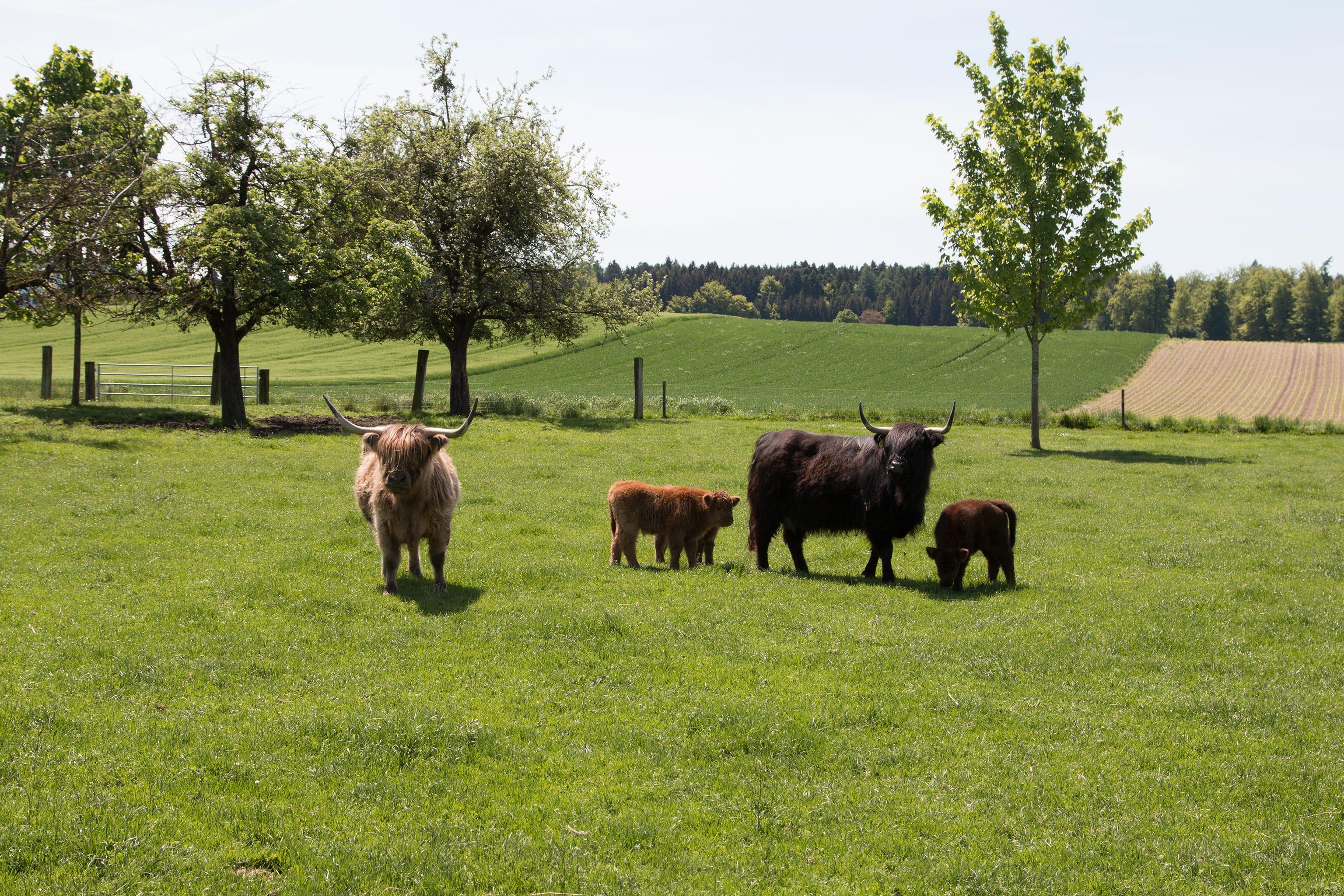 Jungtiere und erwachsene Hochlandrinder auf der Weide.