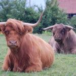 Zwei Hochlandrinder auf der Weide der power-farm in Lyssach.
