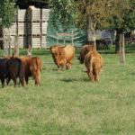 Die Hochlandrinder auf der power-farm in Lyssach werden während des gesamten Jahres draussen gehalten. Sie fühlen sich in der Herde besonders wohl.