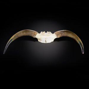 Schädelplatte vom Hochlandrind mit Hörnern